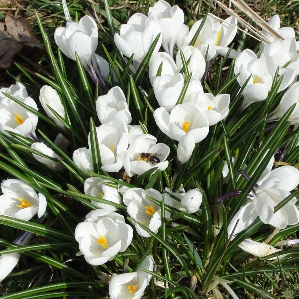 10.03.21 Spring crocuses Sefton Park Spring Equinox 018aa 600x600