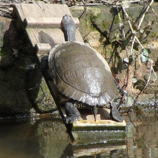 10.03.21 Sunbathing turtle Sefton Park Spring Equinox 085aa 600x600