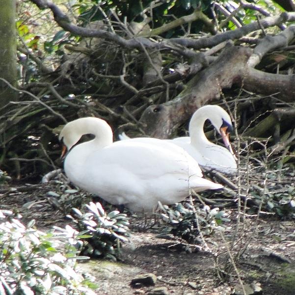 10.03.21 Swans nesting Sefton Park Spring Equinox 013aa 600x600