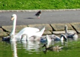 10.06.21 Liverpool Sefton Park male swan & cygnets 037aa 160x115