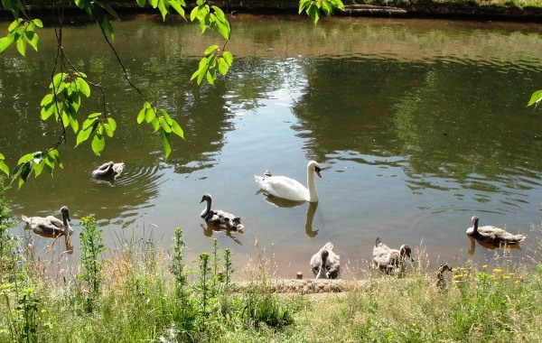 10.07.03 male swan & cygnets ~ Sefton Park Liverpool 027aa 600x380
